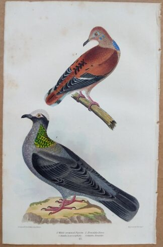 Continuation Plate 17 of White-crowned Pigeon, Zenaida Dove from American Ornithology by Alexander Wilson, 1832