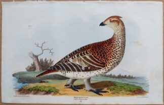 Continuation Plate 19 of Sharp-tailed Grouse from American Ornithology by Alexander Wilson, 1832
