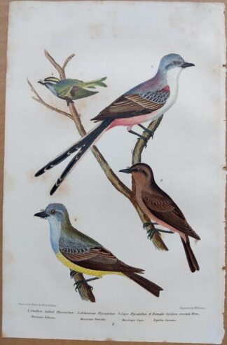 Continuation Plate 2 of Swallow-tailed Flycatcher, Golden-crested Wren from American Ornithology by Alexander Wilson, 1832
