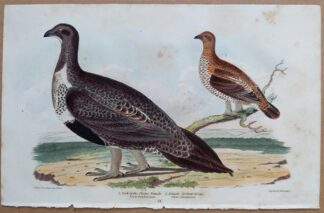 Continuation Plate 21 of Cock of the Plains, Spotted Grous (Grouse) from American Ornithology by Alexander Wilson, 1832
