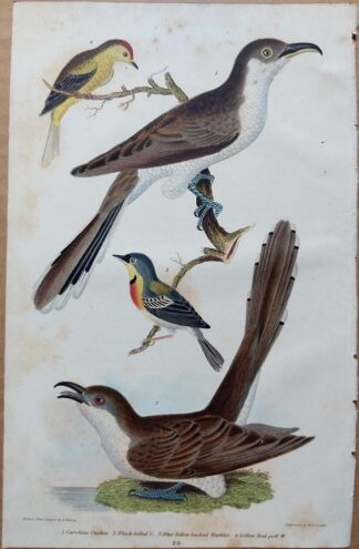 Plate 28 of the Carolina Cuckoo, Black-billed Cuckoo, Warblers from American Ornithology by Alexander Wilson, 1832