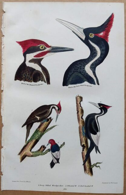 Plate 29 of the Ivory-billed Woodpecker, Pileated Woodpecker, and Red-headed Woodpecker from American Ornithology by Alexander Wilson, 1832