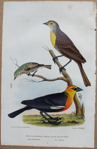Continuation Plate 3 of Yellow-headed Blackbird, Cape May Warbler from American Ornithology by Alexander Wilson, 1832