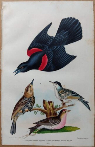 Plate 30 of the Red-winged Starling, Warbler, Red Poll from American Ornithology by Alexander Wilson, 1832