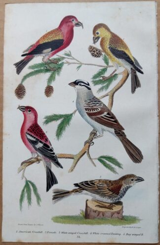Plate 31 of the American Crossbill, Bunting from American Ornithology by Alexander Wilson, 1832