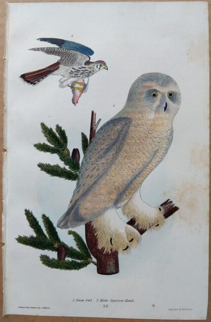 Plate 32 of the Snow Owl, Male Sparrow Hawk from American Ornithology by Alexander Wilson, 1832