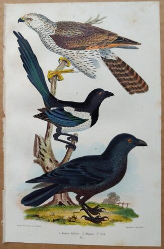 Plate 35 of the Winter Falcon, Magpie, Crow from American Ornithology by Alexander Wilson, 1832