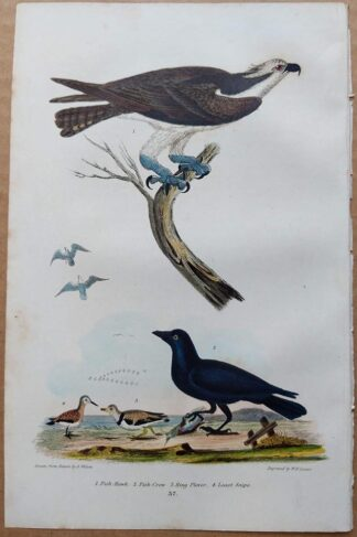 Plate 37 of the Fish Hawk (Osprey), Fish-Crow from American Ornithology by Alexander Wilson, 1832