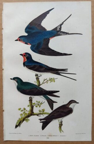 Plate 38 of the Barn Swallow from American Ornithology by Alexander Wilson, 1832