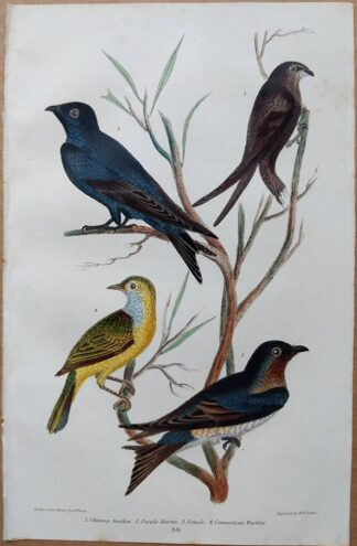 Plate 39 of the Chimney Swallow, Purple Martin, Connecticut Warbler from American Ornithology by Alexander Wilson, 1832