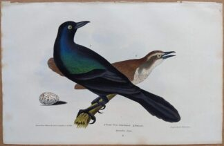Continuation Plate 4 of Great Crow Blackbird, Female from American Ornithology by Alexander Wilson, 1832