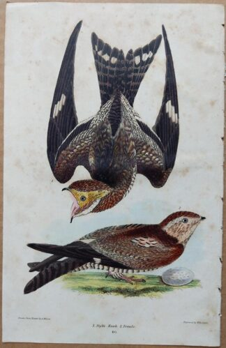 Plate 40 of the Night Hawk from American Ornithology by Alexander Wilson, 1832