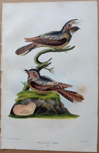 Plate 41 of the Whip Poor Will from American Ornithology by Alexander Wilson, 1832