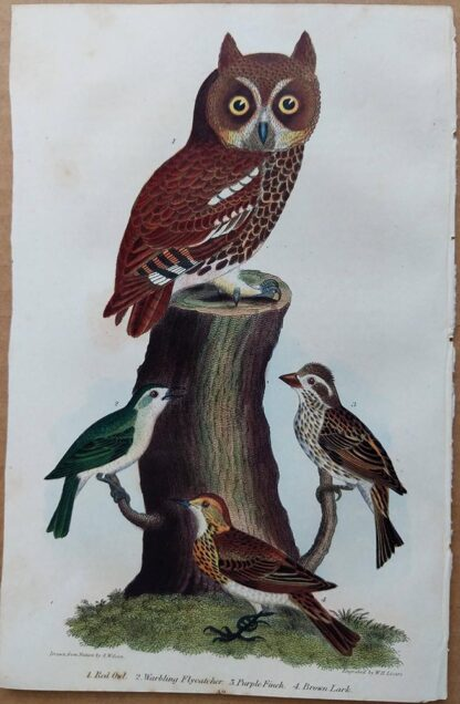 Plate 42 of the Red Owl, Warbling Flycatcher, Purple Finch from American Ornithology by Alexander Wilson, 1832