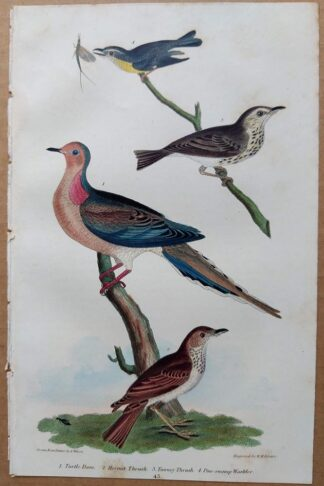 Plate 43 of the Turtle Dove, Hermit Thrush from American Ornithology by Alexander Wilson, 1832