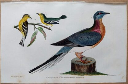 Plate 44 of the Passenger Pigeon, Blue-mountain Warbler from American Ornithology by Alexander Wilson, 1832