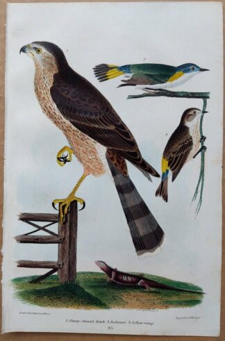 Plate 45 of the Sharp-shinned Hawk, Redstart from American Ornithology by Alexander Wilson, 1832