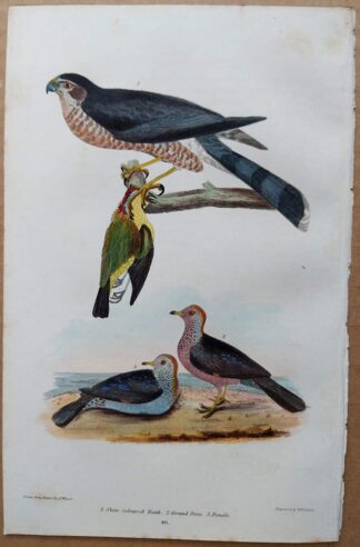 Plate 46 of the Slate-coloured Hawk, Ground Dove from American Ornithology by Alexander Wilson, 1832