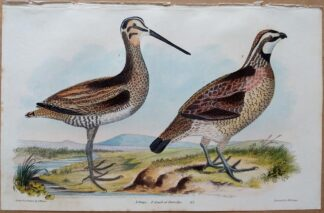 Plate 47 of the Snipe, Quail or Partridge from American Ornithology by Alexander Wilson, 1832