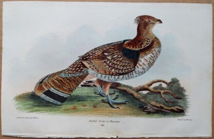 Plate 49 of the Ruffed Grouse or Pheasant from American Ornithology by Alexander Wilson, 1832