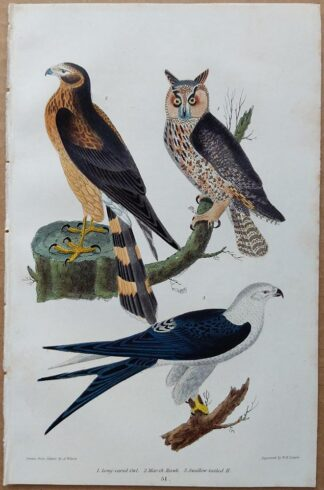 Plate 51 of the Long-eared Owl, Marsh Hawk, Swallow-tailed Hawk from American Ornithology by Alexander Wilson, 1832