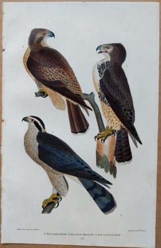 Plate 52 of the Red-tailed Hawk, American Buzzard from American Ornithology by Alexander Wilson, 1832