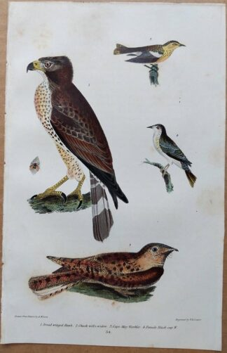 Plate 54 of the Broad-winged Hawk from American Ornithology by Alexander Wilson, 1832
