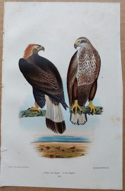 Plate 55 of the Ring-tail Eagle, Sea Eagle from American Ornithology by Alexander Wilson, 1832