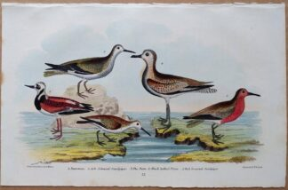 Plate 57 of the Turnstone, Sandpiper, Plover from American Ornithology by Alexander Wilson, 1832