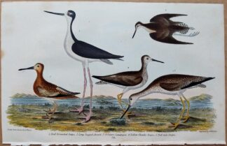 Plate 58 of the Red-breasted Snipe, Avoset, Sandpiper from American Ornithology by Alexander Wilson, 1832