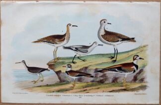 Plate 59 of the Spotted Sandpiper, Plover from American Ornithology by Alexander Wilson, 1832