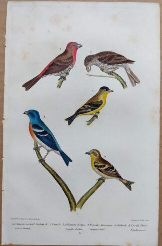 Continuation Plate 6 of Crimson-necked Bullfinch, American Goldfinch from American Ornithology by Alexander Wilson, 1832