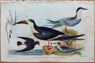 Plate 60 of the Great Tern, Black Skimmer from American Ornithology by Alexander Wilson, 1832