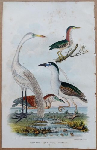 Plate 61 of the Green Heron, Night Heron, and Great White Heron from American Ornithology by Alexander Wilson, 1832 from American Ornithology by Alexander Wilson, 1832