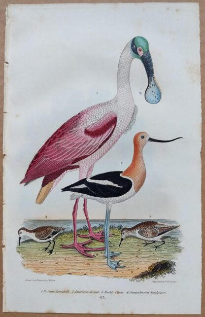 Plate 63 of the Roseate Spoonbill, American Avoset, Ruddy Plover, Sandpiper from American Ornithology by Alexander Wilson, 1832