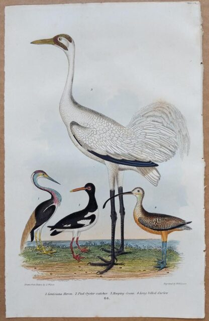 Plate 64 of the Louisiana Heron, Pied Oyster-catcher, Hooping Crane from American Ornithology by Alexander Wilson, 1832
