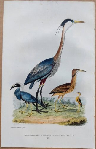 Plate 65 of the Yellow-crowned Heron, Great Heron, American Bittern from American Ornithology by Alexander Wilson, 1832