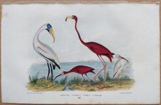 Plate 66 of Wood Ibis, Scarlet Ibis, White Ibis, Flamingo from American Ornithology by Alexander Wilson, 1832