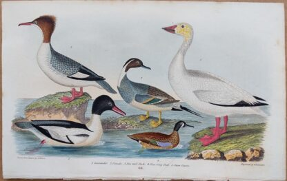 Plate 68 of Goosander, Pin-tail Duck, Blue-wing Teal, Snow Goose from American Ornithology by Alexander Wilson, 1832