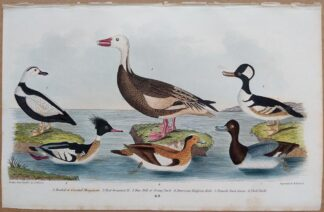 Plate 69 of Hooded Merganser, Scaup Duck, Widgeon, Snow Goose from American Ornithology by Alexander Wilson, 1832