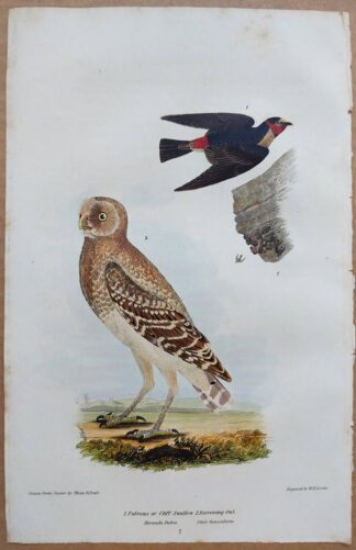 Continuation Plate 7 of Cliff Swallow, Burrowing Owl from American Ornithology by Alexander Wilson, 1832