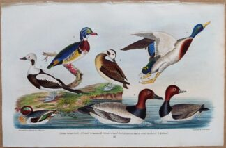 Plate 70 of Long-tailed Duck, Summer Duck, Teal, Mallard from American Ornithology by Alexander Wilson, 1832
