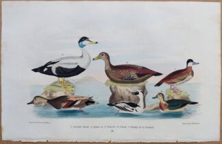 Plate 71 of Gadwal Duck, Eider Duck, Smew, Ruddy Duck from American Ornithology by Alexander Wilson, 1832