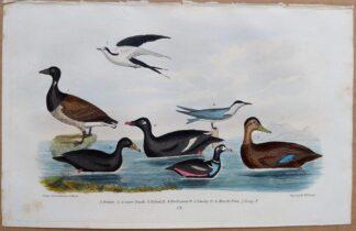 Plate 72 of Brant Goose, Scoter Duck, Velvet Duck, Sooty Tern from American Ornithology by Alexander Wilson, 1832