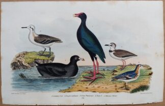 Plate 73 of Common Coot, Purple Gallinule, Phalarope, Plover from American Ornithology by Alexander Wilson, 1832