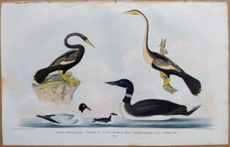 Plate 74 of Black-bellied Darter, Great Northern Diver, Gull, Auk from American Ornithology by Alexander Wilson, 1832