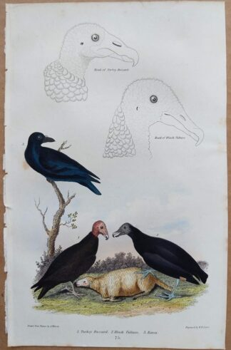Plate 75 of Turkey Buzzard, Black Vulture, Raven from American Ornithology by Alexander Wilson, 1832