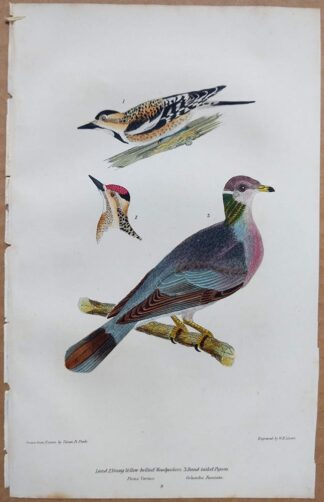Continuation Plate 8 of Yellow-bellied Woodpeckers, Band-tailed Pigeon from American Ornithology by Alexander Wilson, 1832