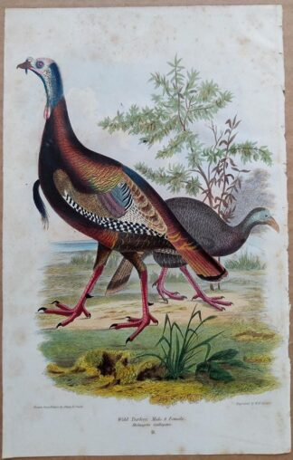 Continuation Plate 9 of Wild Turkey from American Ornithology by Alexander Wilson, 1832