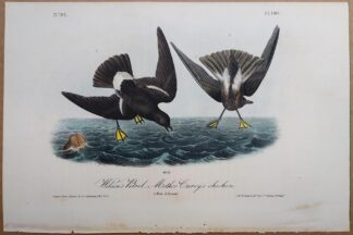 Original antique Audubon print of Wilson's Petrel - Mother Carey's chicken, from 1840